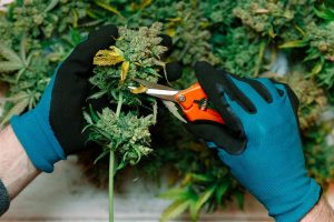 Growing Cannabis at Home